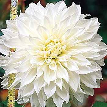Amazon 2 dinnerplate dahlia white perfectiontuber giant 2 dinnerplate dahlia white perfectiontuber giant flowers great cut flowers mightylinksfo