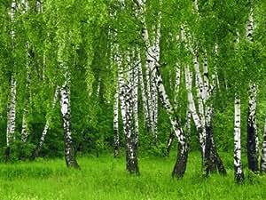 Hermoso árbol de abedul corteza de semillas verdes hojas, color blanco