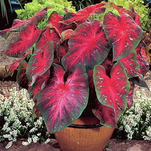Yukio SEED CORNER - 100pcs Colorful Shade-Loving Caladium Indoor Plant Exotic Flower Seeds Hardy Perennial Garden