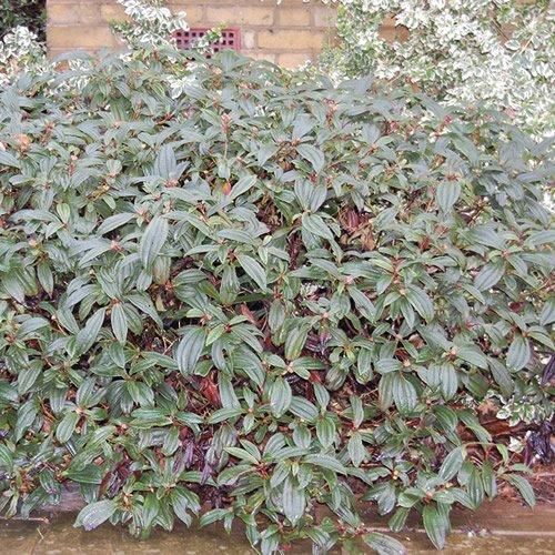 1 X VIBURNUM 'DAVIDII' EVERGREEN SHRUB HARDY GARDEN PLANT IN POT GDUK