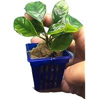 Petlinks Anubias Coffeefolia - Tissue Cultured Live Aquarium Plant (Single)