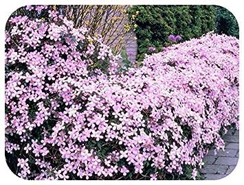 Clematis Montana Rubens Potted Plant x 1 Vigorous Mauve-Pink Climber