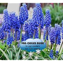 Pre-chilled Blue Muscari - Grape Hyacinth Bulbs - 35 Bulbs