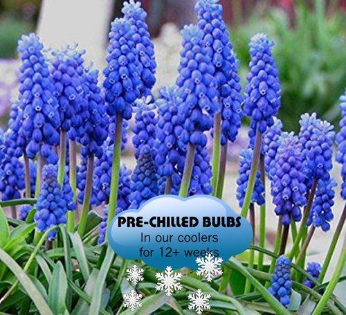 Pre-chilled Blue Muscari - Grape Hyacinth Bulbs - 35 Bulbs - Grow Hyacinth Bulb