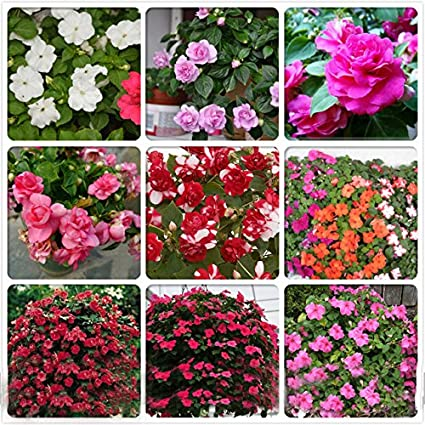 Amazon rare mix impatiens walleriana 9 colors busy lizzie rare mix impatiens walleriana 9 colors busy lizzie balsam perennial flower seeds professional pack mightylinksfo