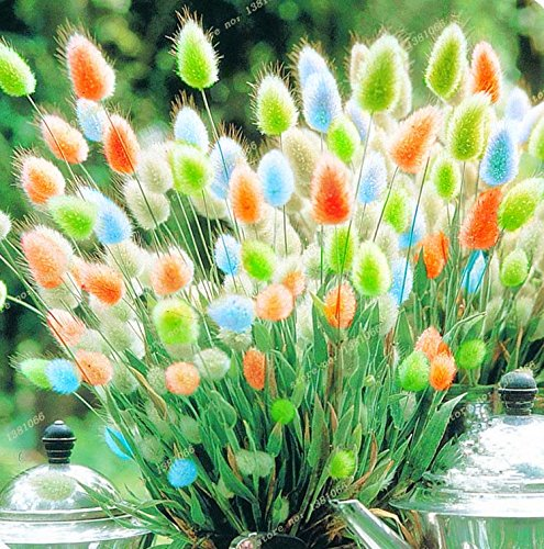 New 2016 new, a variety of color mixing of rabbit tail The grass seeds, 100 PCS/bag, ornamental grass, light up your manor ()