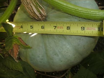 10 seeds Hokkaido pumpkin seeds