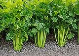 Celery Seeds - Utah 52-70 - Heirloom - Liliana's Garden