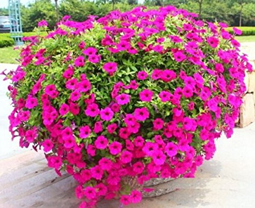 FD1379 1 Pack 50 Seeds Trailing Petunia Hybrida Flower Seed Beautiful Pink