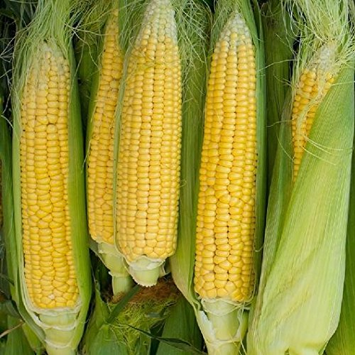 David's Garden Seeds Corn Sweet Golden Bantam 8 Row SL6113 (Yellow) 100 Non-GMO, Heirloom Seeds