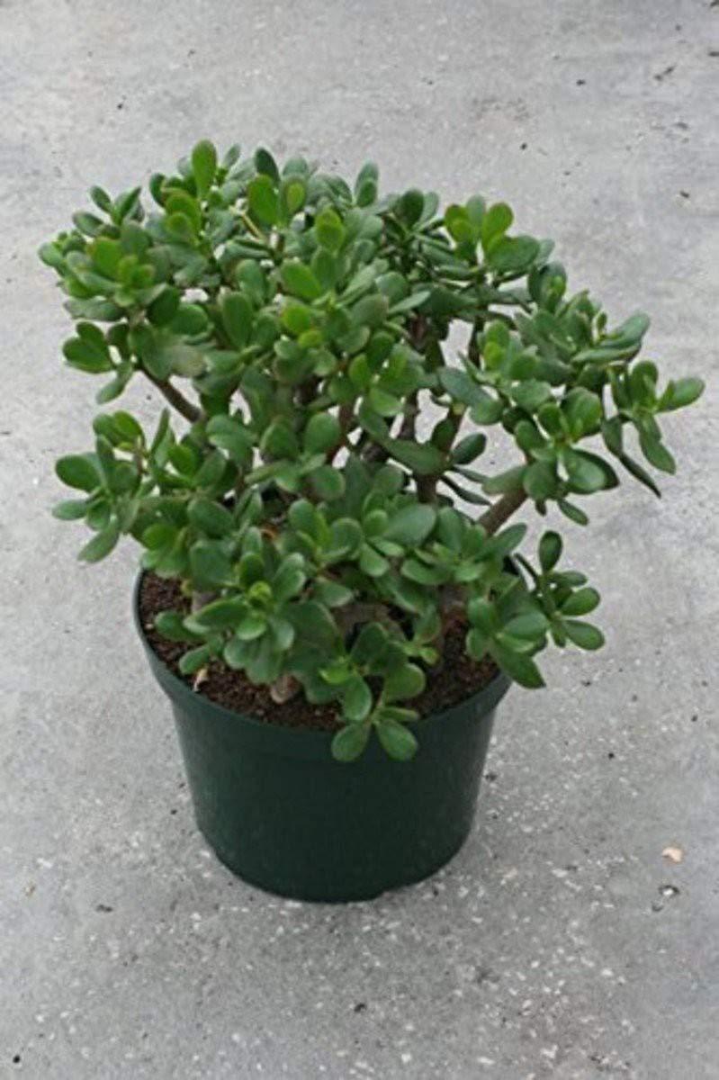 Jade Plant, Succulent, 8'' Pot (Excludes CA, AZ)