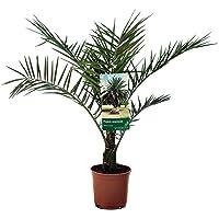 Plantas de interior de Botanicly – 2 × Palmera Canaria – Altura: 60 cm – Phoenix Canariensis