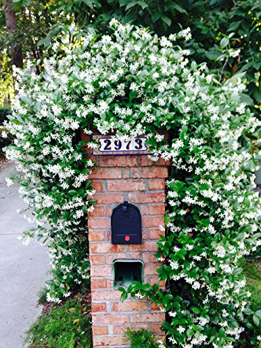 Perfect Plants Confederate Jasmine Live Plant, 1 Gallon, Includes Care Guide by PERFECT PLANTS (Image #4)