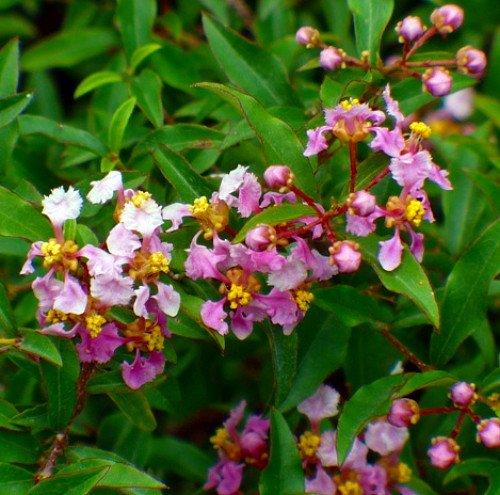 Review Barbados Cherry Plant –