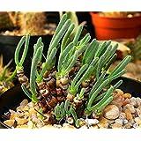 珍奇植物 モニラリア・ピシフォルミス 種子10粒