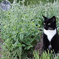 Hot Sale!! Heirloom Catnip - Plant Catnip Seeds, Professional Pack, 20 Seeds, Perennial herb for cat, Also as Flavor E4223