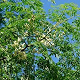 Moringa Tree Seeds (Moringa oleifera) 10+ Fresh Rare Medicinal Tree Seeds