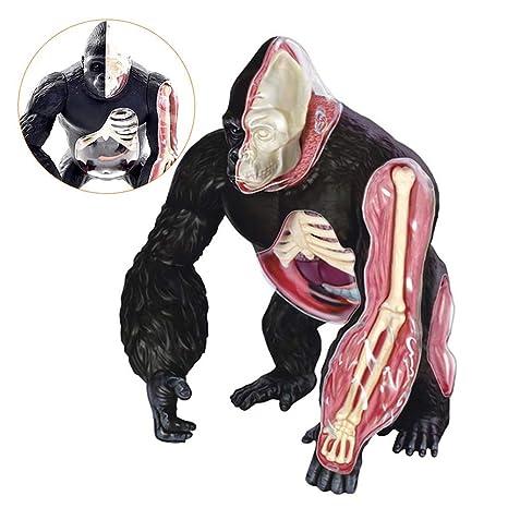 Biuyyy Modelo Anatómico Del Gorila Modelo Anatómico De La