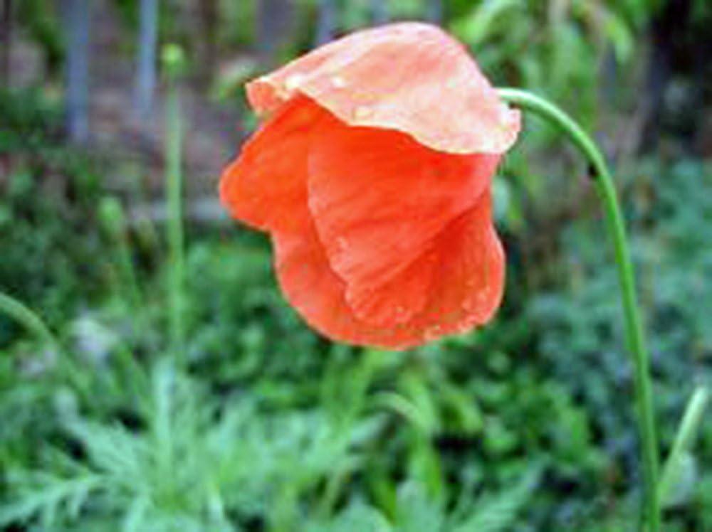 Red Poppy, 500+ Seeds, Worlds Most Popular Flower, Stunning Red Poppies