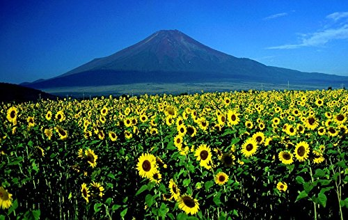 Home Comforts Laminated Poster Mountain Mount Fuji Landscape Sunflowers Japan Poster Print 24 x 36