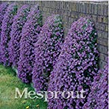 New Aubrieta Cultorum 100+ Seeds - 3