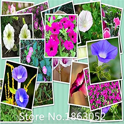 Amazon com : DP4200 seeds / pack, Red Morning Glory Seeds flower