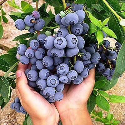 Vpicuo 50pcs/ Bag Blueberry Fruit Seeds Potted Plants Fruits : Garden & Outdoor