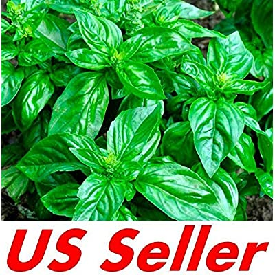 Cutdek 1000 Seeds E151, Genovese Basil Seeds - Ocimum Basilcum Seeds : Garden & Outdoor