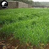 発芽SEEDS:250pcs:購入ソルガムSudanense種子植物モロコシ草魚飼料草
