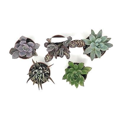 "Live Plant - Assorted Succulents - Spp. Spp. - 2"" Pot (5 Plants) – Garden - tkflonur : Garden & Outdoor"