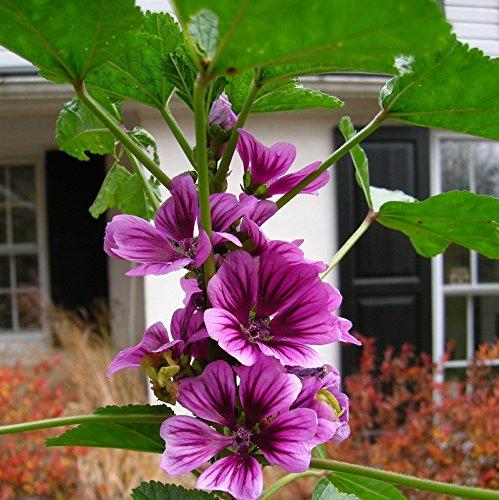 Malva Sylvestris * Zebrina Mallow * 60+ Seeds * Zebra Striped Hollyhocks (Midsummer Salad)