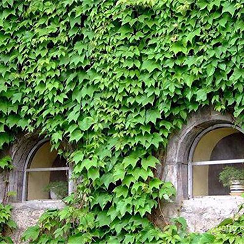 Fedi Apparel 20/Pack Parthenocissus Tricuspidata Seeds Fast Growing Vine/Climber Boston Ivy for House and Garden