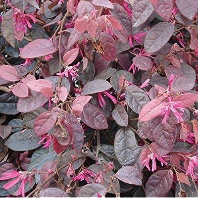 Toyensnow - Loropetalum chinense Zhuzhou Fuchsia Chinese Fringe Shrub (5 Seeds) : Garden & Outdoor