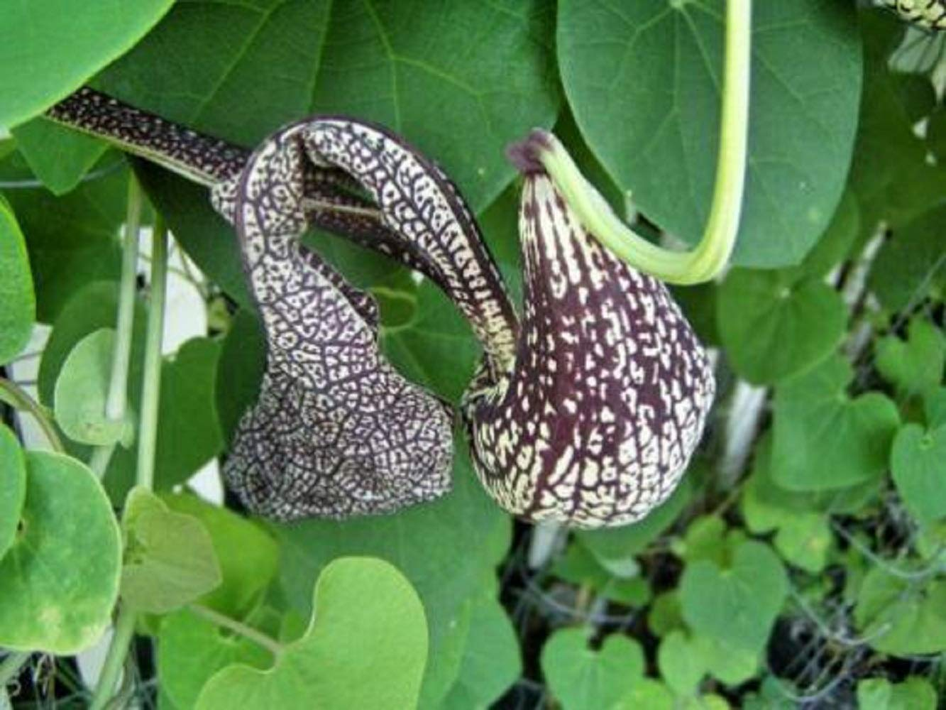 60 Seeds Aristolochia cymbifera Gonzaga Vine Home Garden tkyeg by tkyeg (Image #4)