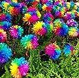 100pcs / bag semillas arco iris margarita crisantemo, semillas semillas de flores bonsai hermosas plantas en macetas para el jardín de Negro