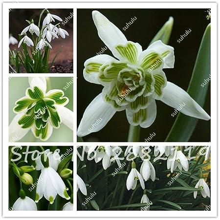 Galanthus Nivalis Seeds Common Snowdrop Flower Seeds Beautiful Garden Bonsai