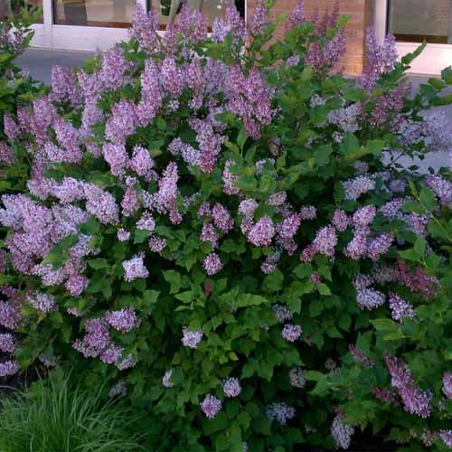 Miss Kim Manchurian Lilac (syringa) - Live Plant - Quart (Flowering Shrubs)