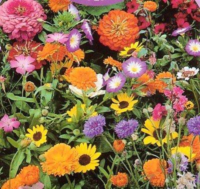 Wildflower Seeds- 1000+ Low Growing - Growing Wildflower