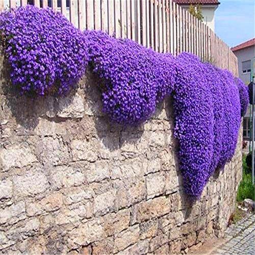 Creeping Thyme Thymus Serpyllum Magic Carpet Purple Walk on Me Plant, 25 seeds