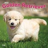 Golden Retriever Puppies 2021 12 x 12 Inch Monthly Square Wall Calendar, Animals Dog Breeds Golden Puppy