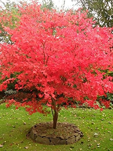 Fireglow Upright Red Japanese Maple Tree - Live Plant - Trade Gallon Pot (Maple Red Tree)