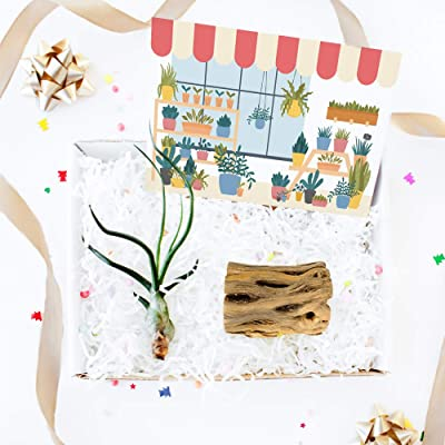 Gift Box - 1 Airplant (Mother's Day Card) : Garden & Outdoor