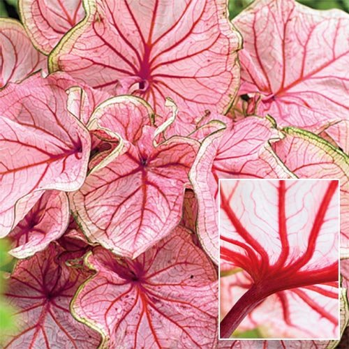 Yukio SEED CORNER - 100pcs Multi-Colored Foliage Caladiums Sweetheart, Tropical Mix Large Showy Leaves Exotic Flower Seeds Hardy Perennial Garden Shady Spots