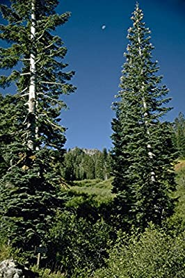 50 White Fir Tree Seeds, Abies Concolor - Iowiana
