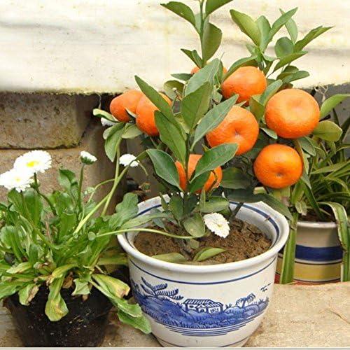 Delaman 100pcs Edible Fruit Mandarin Citrus Orange Bonsai Tree Seeds Small Tree Seed Patio Lawn Garden Gardening
