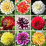 Mixed Color Dahlia Dinner Plate Extravaganza Mix - (10 Bulbs) Huge Blooms - 10 Colors | Ships From Easy to Grow TM