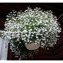 Flower Seeds Trailing Lobelia Belosnezhnyy Kaskad û White Cascade Annual