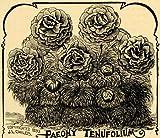 1894 Print Paeonia Tenuifolia Flowers J L Childs Art - Original Halftone Print