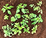 Bulk Pack of 36 Garden Vegetable Plants