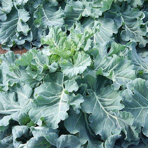 無農薬 化学肥料不使用 ケール 生葉